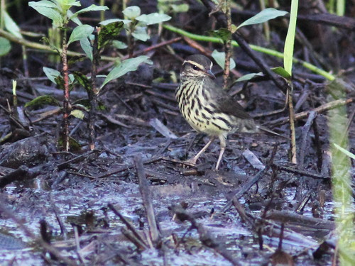 Northern Waterthrush 20131008