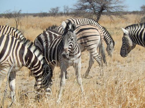 Etosha NP - zebras