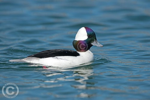 Bufflehead | by Rob Lonsberry Photography
