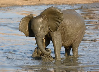 Young elephant at the waterhole