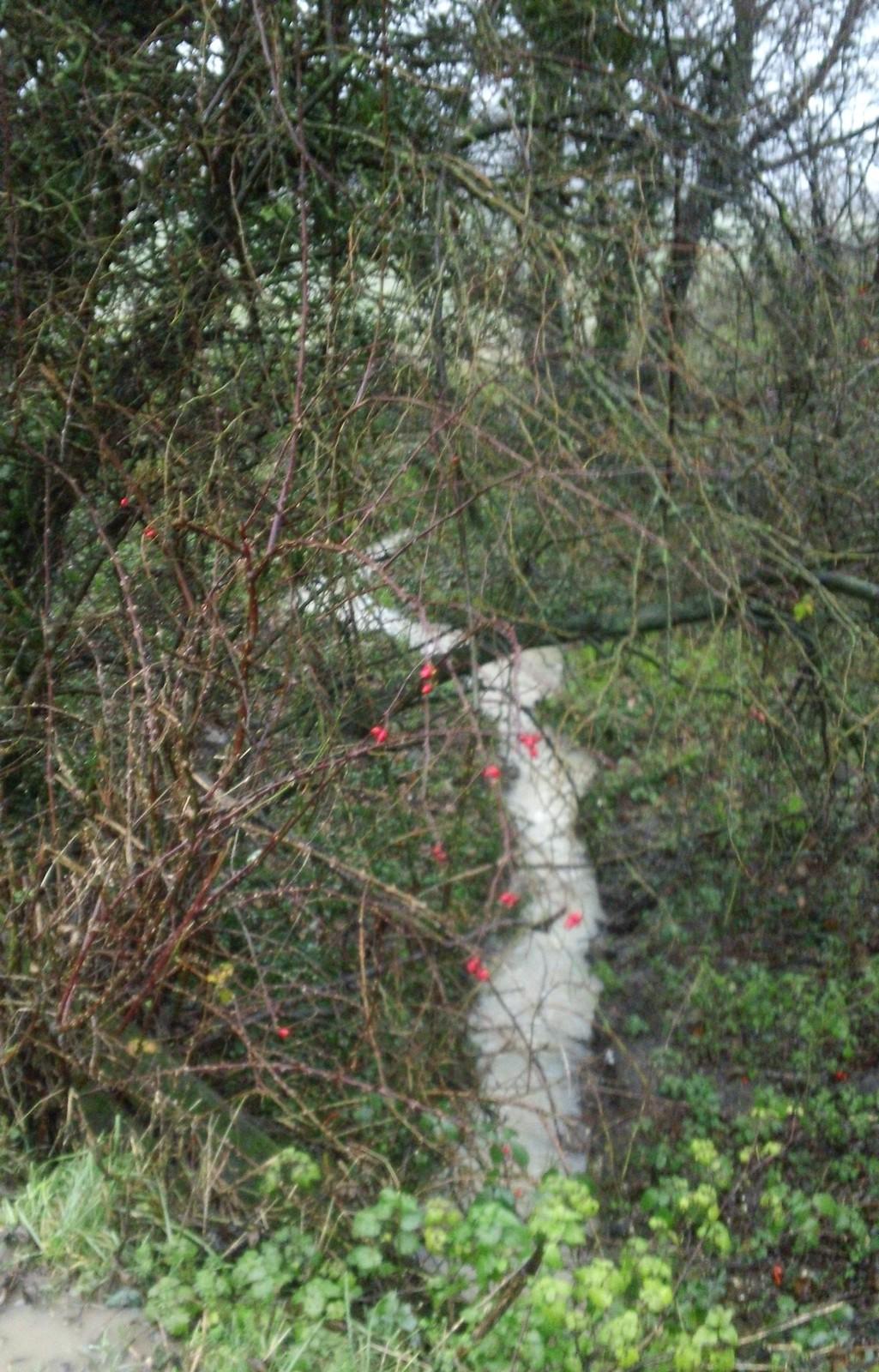 Muddy stream, red berries