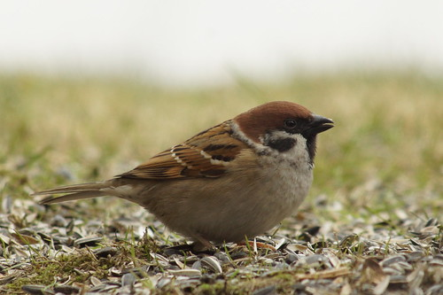 Eurasian Tree Sparrow - Passer montanus   by manum.net - Photos from Manum Gård