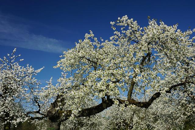 Franken- Kirschblüte / Cherry blossom  170409