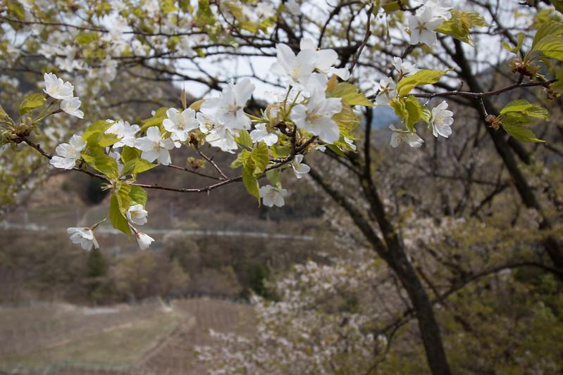 20150412-甲州高尾山-0436.jpg