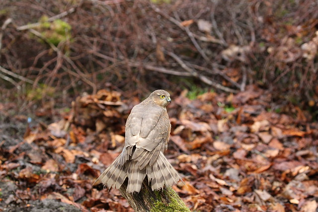 Sparrow Hawk (Juvenile)
