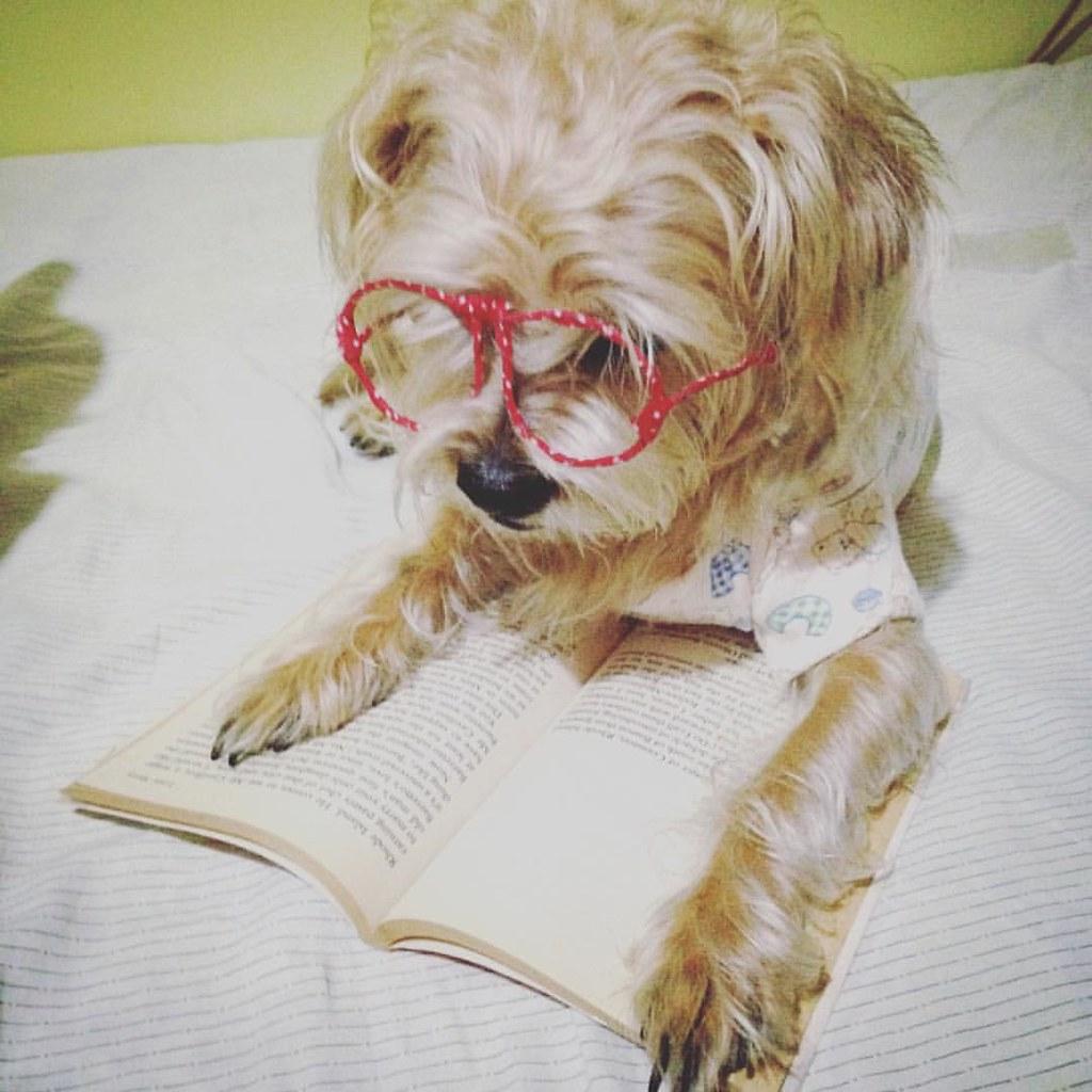 dogs #pinchu #pinzhu #pintzu #pintzusofinstagram #reading