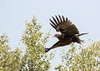 Great Spotted Eagle (Aquila clanga) by piazzi1969