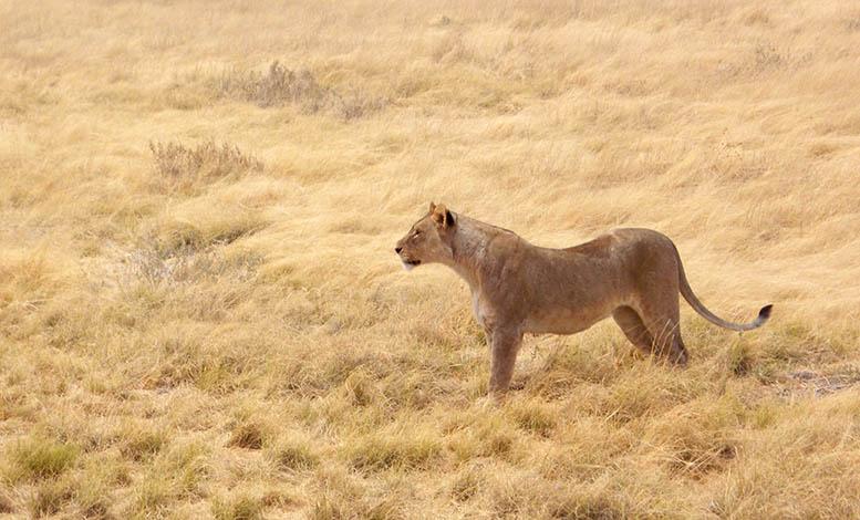 Lion at Etosha - Namibia
