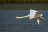 Mute swan (Cygnus olor) by Bjorn-Erik Skjoren