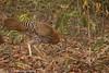 Sri Lanka Junglefowl -  Female by ArunaSene
