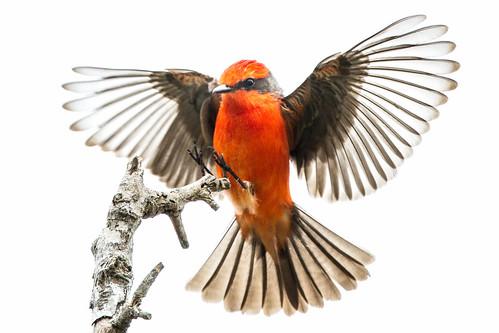 Vermillion Flycatcher - Anahuac National Wildlife Refuge