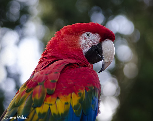 Green Winged x Scarlet Macaw Hybrid   by Steve Wilson - over 10 million views Thanks !!