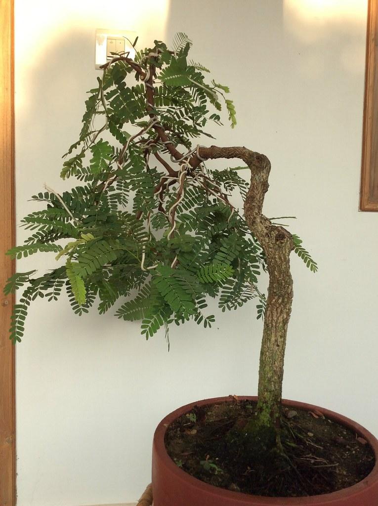Tamarind bonsai after wiring three photos -