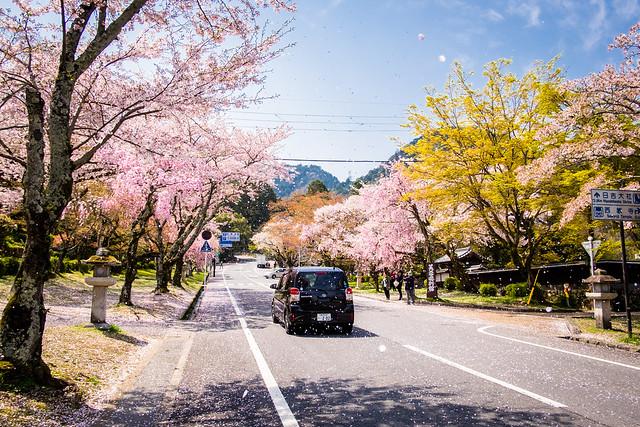 sakura '17 - cherry blossoms #8 (Sakamoto, Shiga)