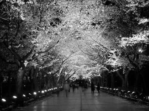longexposure travel light vacation blackandwhite holiday plant flower tree tourism nature beautiful japan night dark japanese asia pretty view time personal crowd culture illumination nighttime 桜 cherryblossom 日本 flowering sakura hanami temporal blooming treetunnel 花見 cherryblossomviewing nolens japanesecastle 新潟県 niigataprefecture photospecs stockcategories 高田城 上越市 高田公園 takadacastle joetsucity springapril2013 jōetsushi takadakoencherryblossomfestival