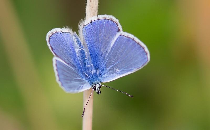 Common Blue?