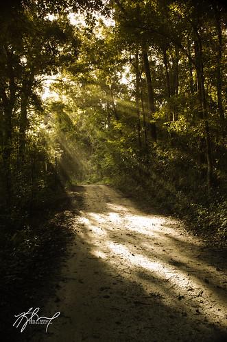 trees light sun sunlight beautiful forest woods unitedstates florida tallahassee beams lightbeam pineyz