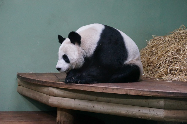 Panda - Edinburgh