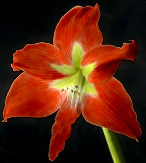 Amaryllis | by Provincial Archives of Alberta