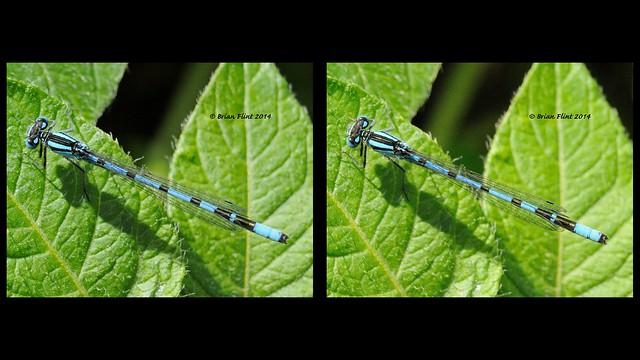 Common Blue Damselfly - 3d crossview