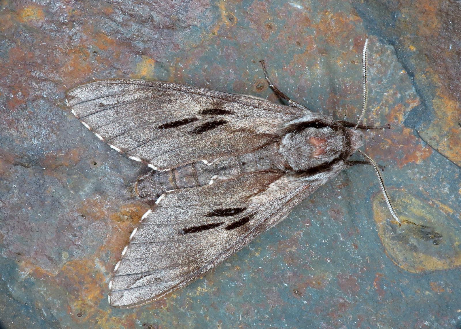 1978 Pine Hawk-moth - Sphinx pinastri