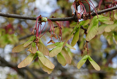 Maple seeds, about to fly