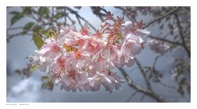 Cherry blossom in Kent