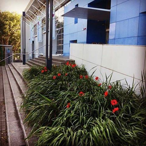 Poppies, marking Anzac Day at Concord Library