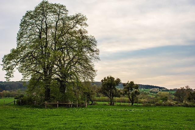 Zwei Linden in der Frühlingslandschaft