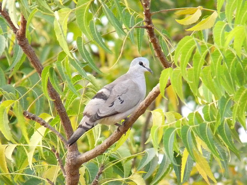 01. Tourtelette d'Abyssinie - Turtur abyssinicus - Black-billed Wood Dove | by notjes1966