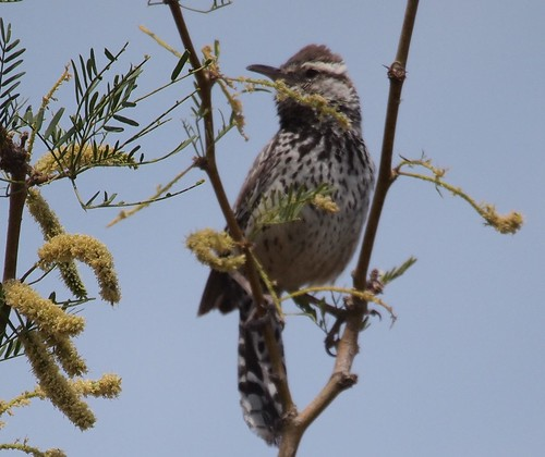 Cactus Wren, Campylorhynchus brunneicapillus | by J. Maughn