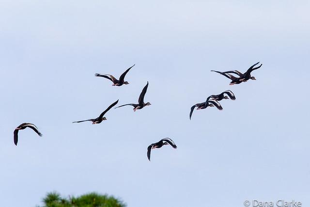 Black-bellied Whistling Ducks in Flight.