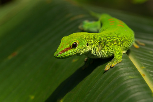 Posing gecko | by finor