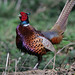 Ring-necked Pheasant - Photo (c) Mark Kilner, some rights reserved (CC BY-NC-SA)