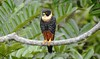 Falco rufigularis by Wildlife and nature - Colombia