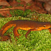 Eastern Newt - Photo (c) Judy Gallagher, some rights reserved (CC BY)