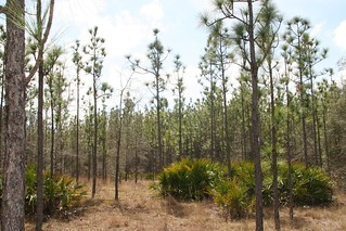 Pine stand at Alapaha WMA | by USFWS/Southeast