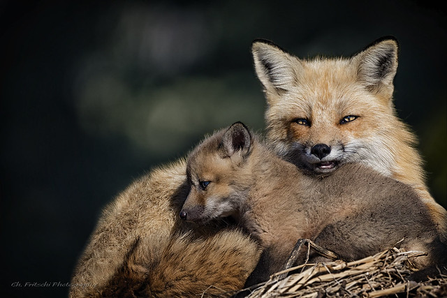 Renard roux / Red Fox / Vulpes vulpe