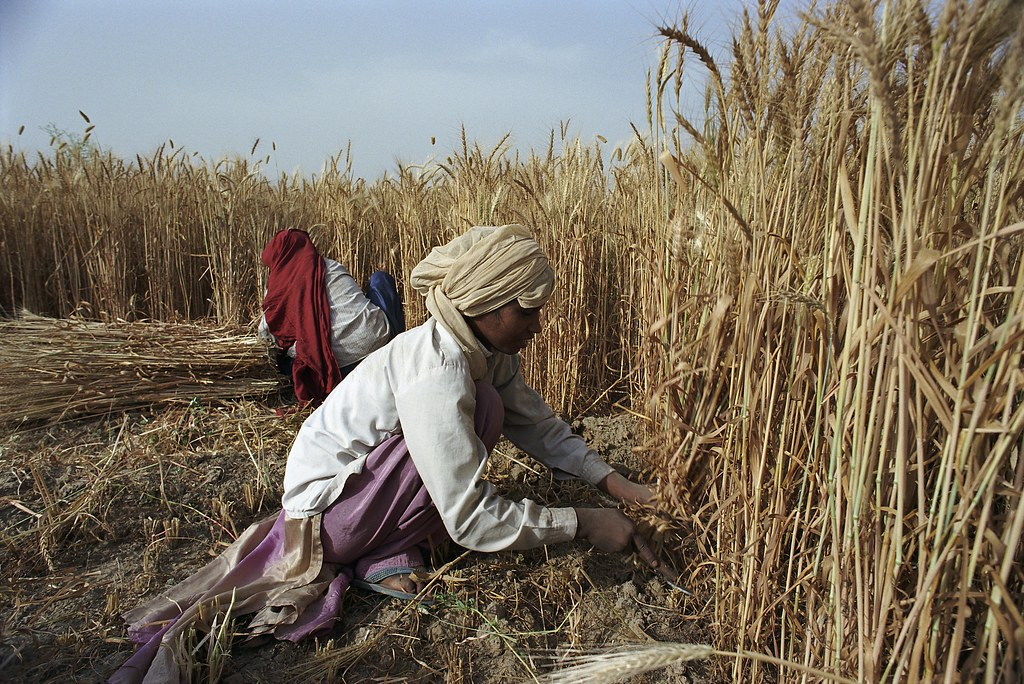 Wheat harvest in central India