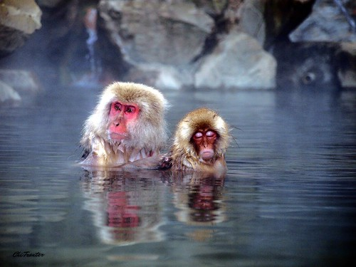 Snow monkeys in hot spring Japan | by Chi Tranter