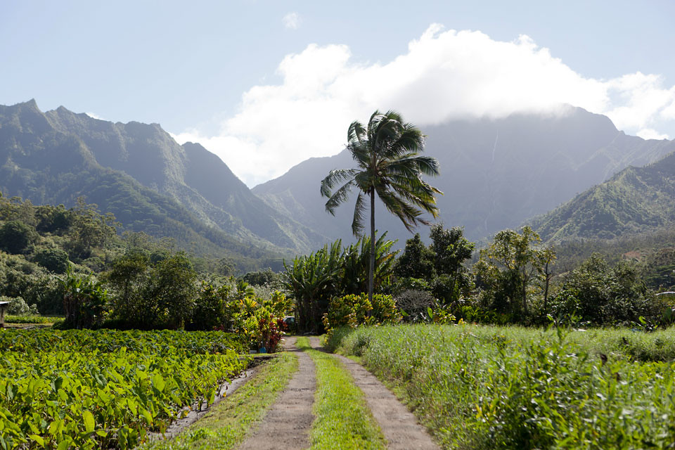 kauai_taro_farm