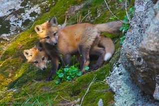 Two young red foxes (Vulpes vulpes) take a break from playing