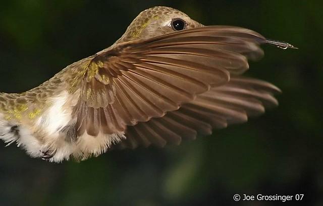 There is no bird like the hummingbird