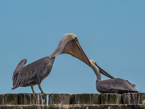 brownpelican pelican pelecanus pelecanusoccidentalis pelecanidae nigelje westport westportmarina findingnemo nemo