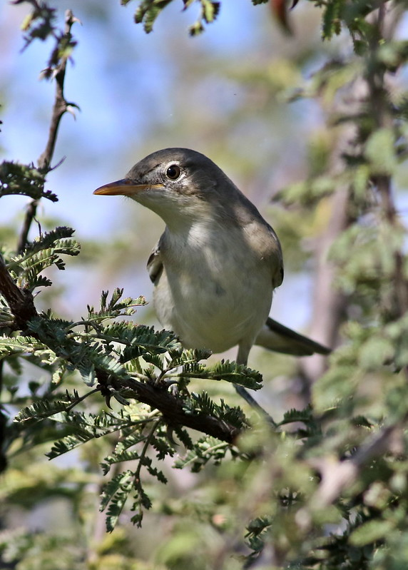 Olive-tree warbler, Hippolais olivetorum, at Zaagkuildrift Road near Kgomo Kgomo, Limpopo, South Africa
