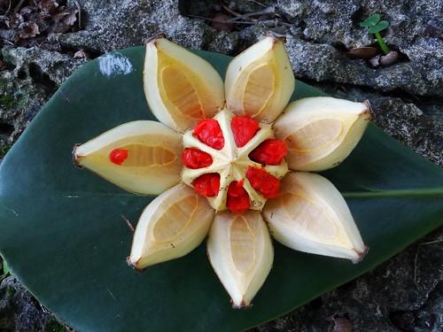 3point141 florida usa fairchildtropicalbotanicgarden coralgables pitchapple clusiaceae clusiamajor clusiarosea hemiepiphyte