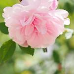 Rose, Blush Boursauit, バラ, ブラッシュ ブールソール,