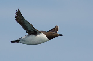 Flying Guillemot | by Tim Melling