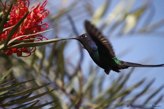 Série com Beija-flor Tesoura (Eupetomena macroura) - Series with the Swallow-tailed Hummingbird - 26-04-2014 - IMG_0020