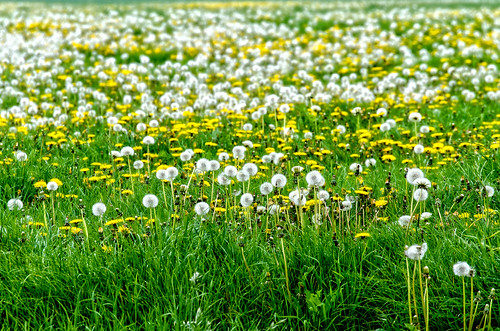 Several Species Of Dandalions Gathered Together In A Meadow And Waiting For The Wind